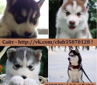 Изображение в Собаки и щенки Продажа собак, щенков продам очень красивых и ласковых хаски! Разные в Москве 0