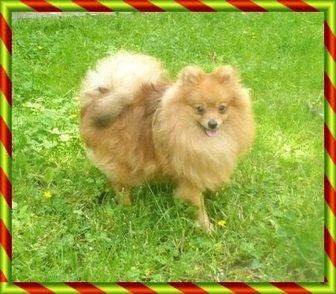 Изображение в Собаки и щенки Продажа собак, щенков Предлагаю в качестве домашнего любимца взрослую в Москве 8000