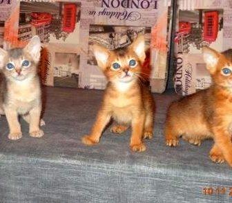 Фото в Кошки и котята Продажа кошек и котят Абиссинские котята, рожд. 05. 10. 15г, мальчик в Москве 20000