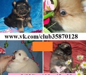 Фото в Собаки и щенки Продажа собак, щенков Чистокровных шпицов продам. Щеночки для души в Москве 0