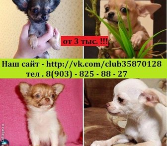 Изображение в Собаки и щенки Продажа собак, щенков Красивые малыши чихуахуа недорого от 3000 в Москве 0