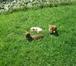 Фотография в Собаки и щенки Продажа собак, щенков К продаже предлагается девочка породы такса в Москве 155000