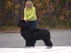 Уникальное foto Вязка собак Кобель для вязки 38855281 в Мурманске