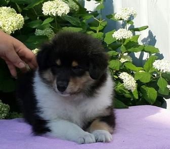 Муром: щенки пиренейской горной собаки - объявление n 30968612