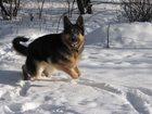 Скачать фотографию Потерянные Пропала собака - немецкая овчарка 33880000 в Мытищи