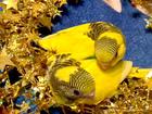 Изображение в   Открыта бронь на птенцов волнистых попугаев в Мытищи 1500