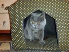 Фото в  Отдам даром - приму в дар Отдам в хорошие, ласковые руки кота Британец в Набережных Челнах 0