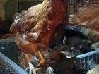 Изображение в   Продаются курицы-несушки красные породы Хайсекс в Набережных Челнах 190