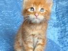 Изображение в   Продается котик мейн-кун. Сам рыжий полосатый, в Нерюнгри 0