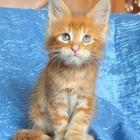 Котик мейн-кун - рыжий лисёнок