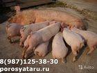 Скачать бесплатно изображение Другие животные Поросятамесячные 34064518 в Невельске