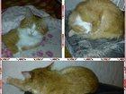 Изображение в Кошки и котята Вязка Простой домашний кот. С уникально хорошим в Невинномысске 0