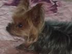 Просмотреть foto Потерянные Пропала собака «Йоркский терьер» 39794550 в Нижнеудинске