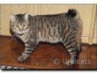 Изображение в Кошки и котята Продажа кошек и котят Потерялся Крупный кот породу курильский бобтейл в Нижневартовске 0