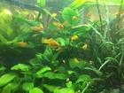 Изображение в   Аквариумные растения из своих аквариумов в Нижневартовске 0