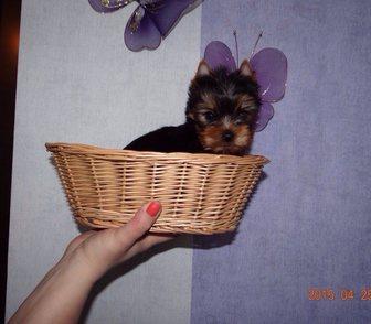 Фото в Собаки и щенки Продажа собак, щенков Красивые, добрые, игривые щеночки йоркширского в Кемерово 35000