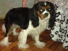 Фотография в Собаки и щенки Продажа собак, щенков Молодой Кавалерчик ищет девочку. . . в Нижнем Новгороде 3000