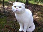 Фотография в Кошки и котята Вязка С отличной родословной, предки - чемпионы, в Нижнем Новгороде 0