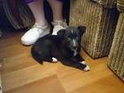 Просмотреть фотографию  Прекрасный непривиредливый щенок! 34357985 в Нижнем Новгороде