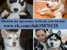 Фото в Собаки и щенки Продажа собак, щенков Продам собачек хаски по хорошим минимальным в Нижнем Новгороде 0
