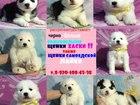 Изображение в Собаки и щенки Продажа собак, щенков В продаже очаровательные чистокровные собачки в Нижнем Новгороде 0