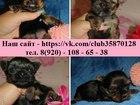 Фотография в Собаки и щенки Продажа собак, щенков Продам щеночков йоркширского терьера! Чистокровные, в Нижнем Новгороде 0