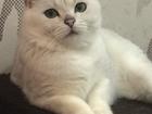 Фото в   Молодой кот - Серебристая шиншилла с Изумрудными в Нижнем Новгороде 15000