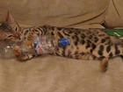 Фото в Кошки и котята Вязка Бенгальская кошечка 1, 5 года , готова провести в Нижнем Новгороде 0
