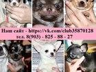 Фото в Собаки и щенки Продажа собак, щенков Замечательные щеночки Чихуа-хуа от заводчика, в Нижнем Новгороде 10000
