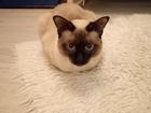 Смотреть фото  Ищу кошку породы меконгский бобтейл для вязки с котом этой породы 38554349 в Нижнем Новгороде