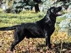 Фотография в Собаки и щенки Вязка собак Предлагается для вязки кобель три года, развязан. в Нижнем Новгороде 0