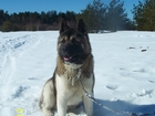 Уникальное foto Вязка собак Вязка Американская акита 38784485 в Нижнем Новгороде