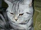 Скачать изображение Вязка ищем котика для вязки 39134273 в Нижнем Новгороде