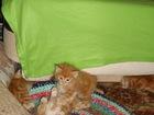 Фотки Курильский бобтейл смотреть в Сарове