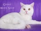 Увидеть фото Вязка кошек Молодой, перспективный котик приглашает на вязку 39976145 в Нижнем Новгороде
