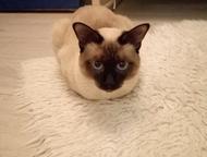 Ищу кошку породы меконгский бобтейл для вязки с котом этой породы Котик породы м