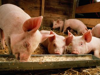 Уникальное изображение  Поросята мясной породы 37636708 в Кемерово