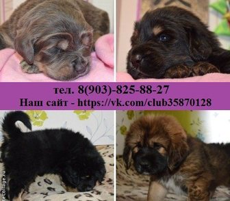 Фото в Собаки и щенки Продажа собак, щенков Щенки от 50000 рублей, порода- тибетский в Нижнем Новгороде 0