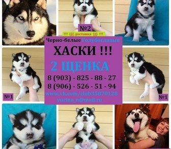 Фотография в Собаки и щенки Продажа собак, щенков Черно-белые голубоглазые хаски! В наличии в Нижнем Новгороде 0