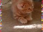 Изображение в Кошки и котята Продажа кошек и котят Предлагаем к резервированию и продаже котёнка в Нижнем Тагиле 4000