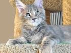 Фотография в Кошки и котята Продажа кошек и котят Продается котенок мейн-кун Джессика, окрас в Ноябрьске 0