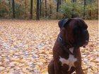 Свежее foto Вязка собак вязка 32940326 в Новочебоксарске