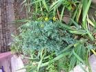 Смотреть фото Растения Саженцы голубой ели и голубой туи 68259377 в Новочеркасске