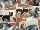 Фотография в Собаки и щенки Стрижка собак УХОД И СТРИЖКА для собак: тримминг, гигиеническая, в Новокузнецке 0