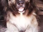 Фото в Собаки и щенки Вязка собак Все подробности по телефону в Новокузнецке 0