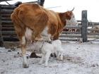 Увидеть фото  Продам корову красно-белого окраса 40032953 в Новокузнецке