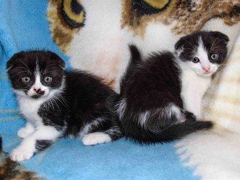 Свежее фото Продажа кошек и котят Шотландские котята 33129998 в Новокузнецке