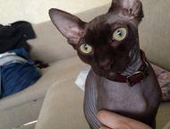 Канадский сфинкс Кот редкого шоколадного окраса из элитного питомника и хорошей