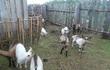 Продам молодых козочек и козлят, рождены