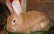 Продам кроликов мясной броллерной породы